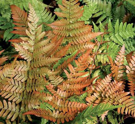 dryopteris-erythrosora-brilliance-autumn-fern