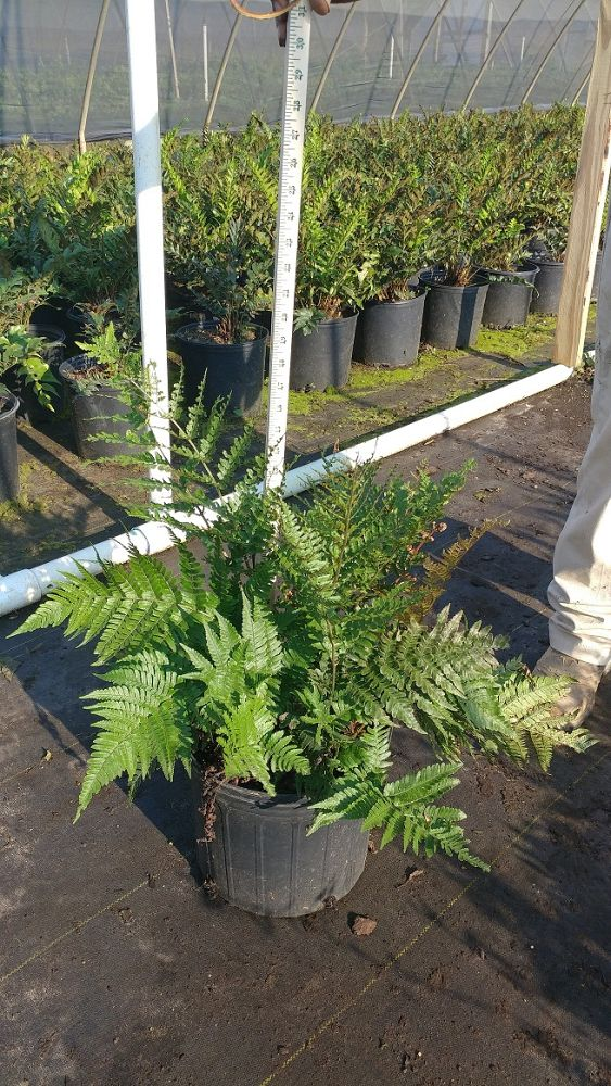 dryopteris-erythrosora-radiance-autumn-fern