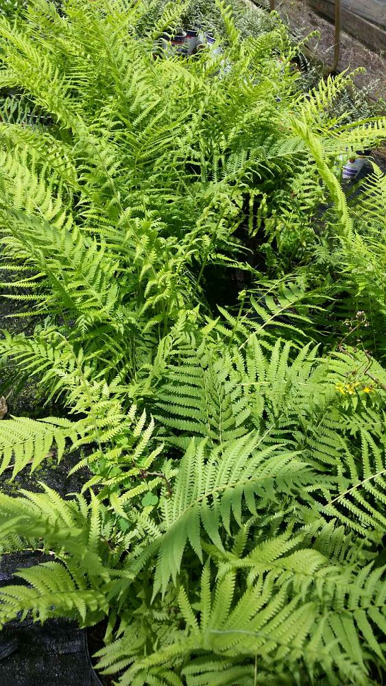dryopteris-normalis-wood-fern