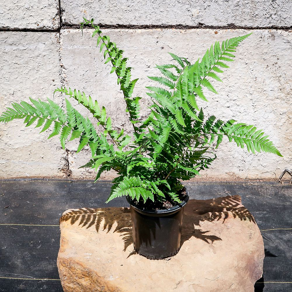 dryopteris-x-australis-dixie-wood-fern