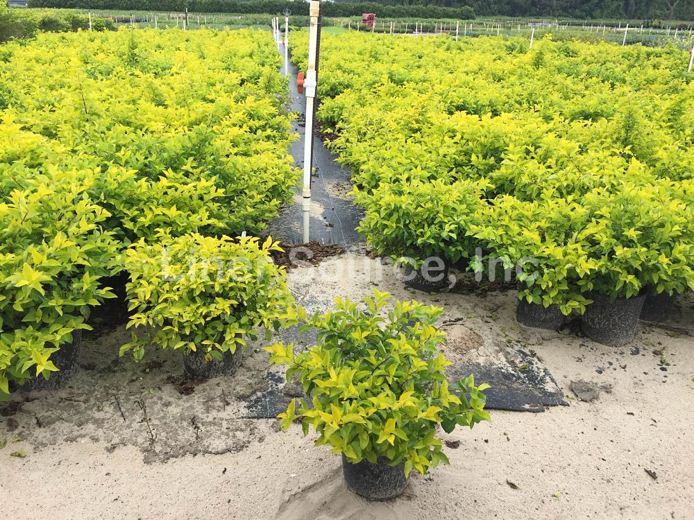 duranta-erecta-gold-mound-golden-dewdrop-duranta-repens
