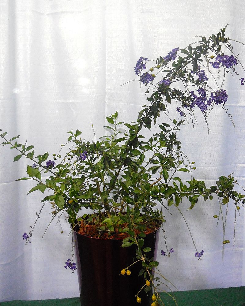 duranta-erecta-sapphire-showers-golden-dewdrop-duranta-repens-pigeon-berry-skyflower