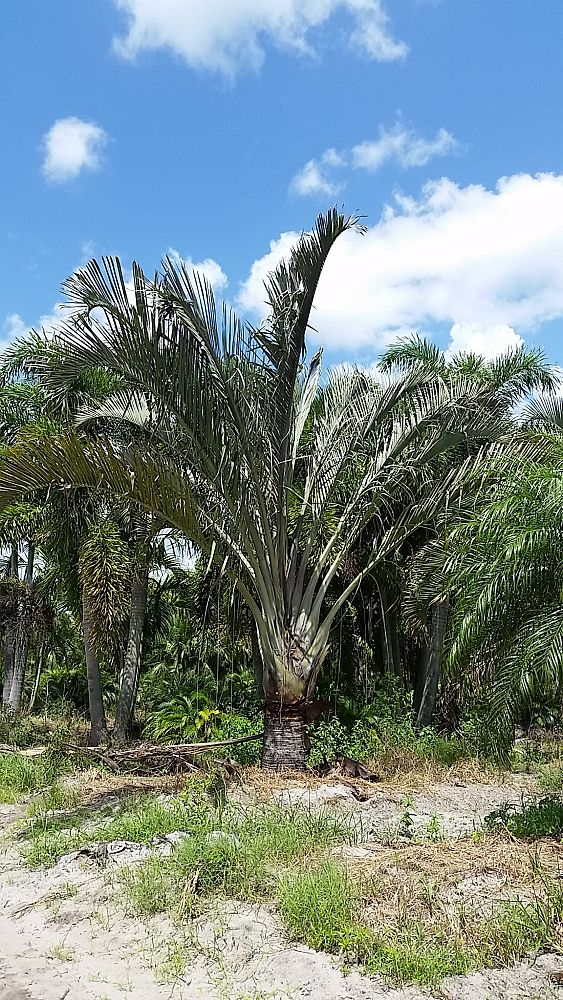 dypsis-decaryi-triangle-palm