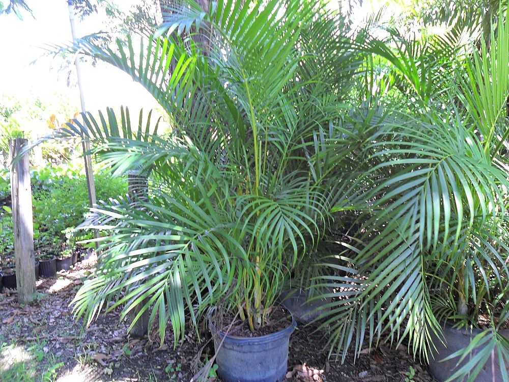 Florida superior nursery for Pictures of areca palm plants