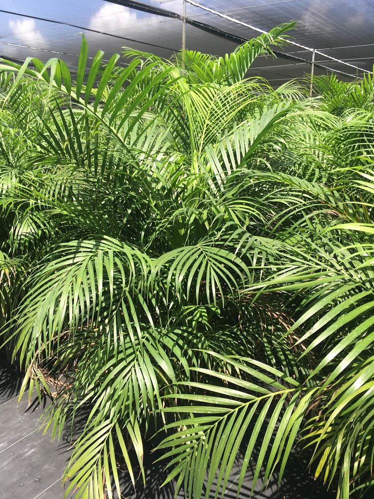dypsis-lutescens-areca-palm