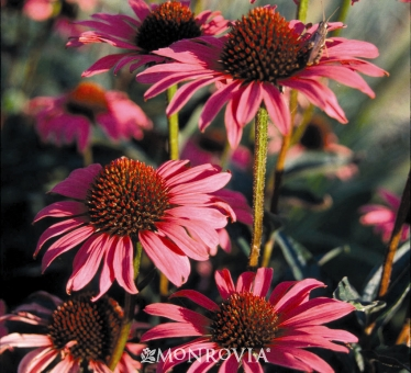 echinacea-purpurea-magnus-purple-coneflower