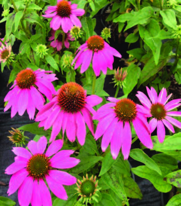 echinacea-purpurea-pas702917-powwow-wildberry-purple-coneflower