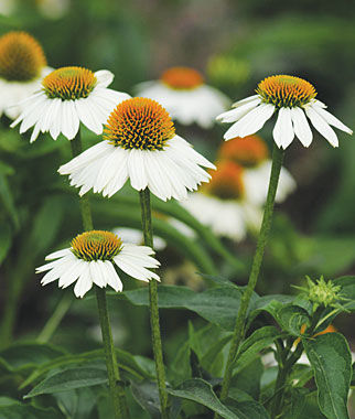 echinacea-purpurea-powwow-white-purple-coneflower