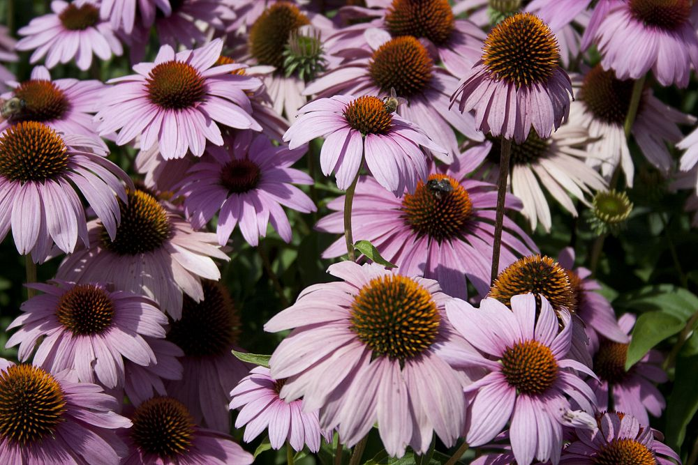 echinacea-purpurea-ruby-star-purple-coneflower
