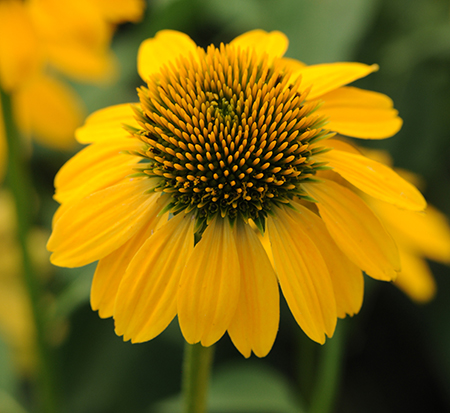 echinacea-purpurea-sombrero-lemon-yellow-eastern-purple-coneflower-eastern-coneflower