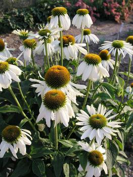 echinacea-purpurea-white-swan-purple-coneflower
