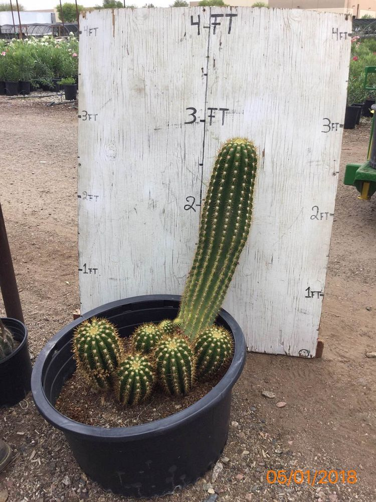 echinopsis-candicans-argentine-giant