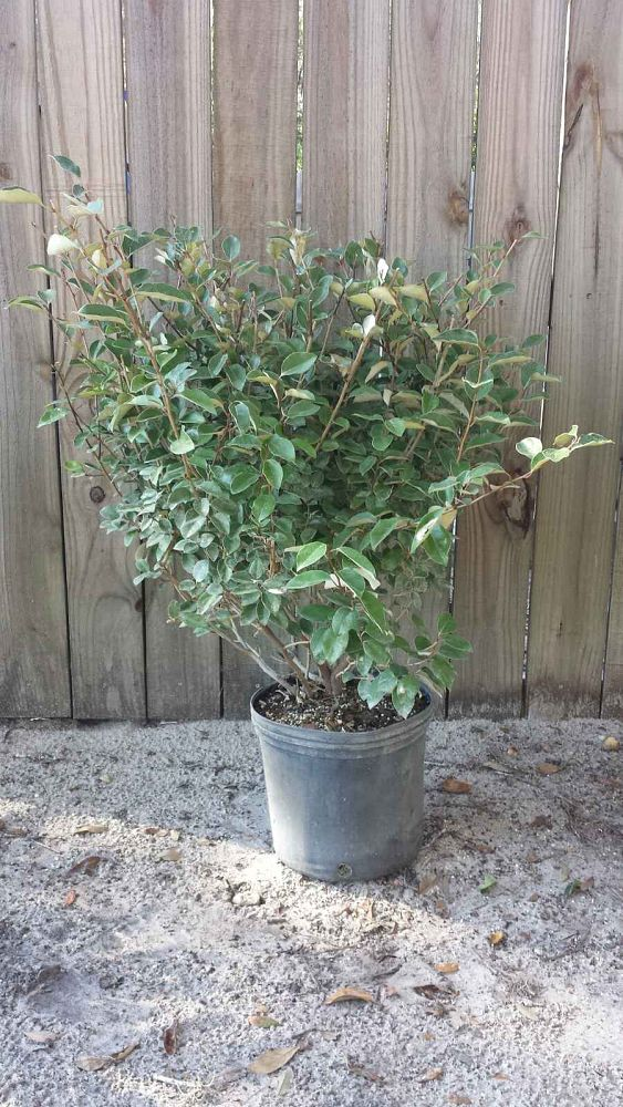 elaeagnus-silverthorn-silverberry-thorny-olive