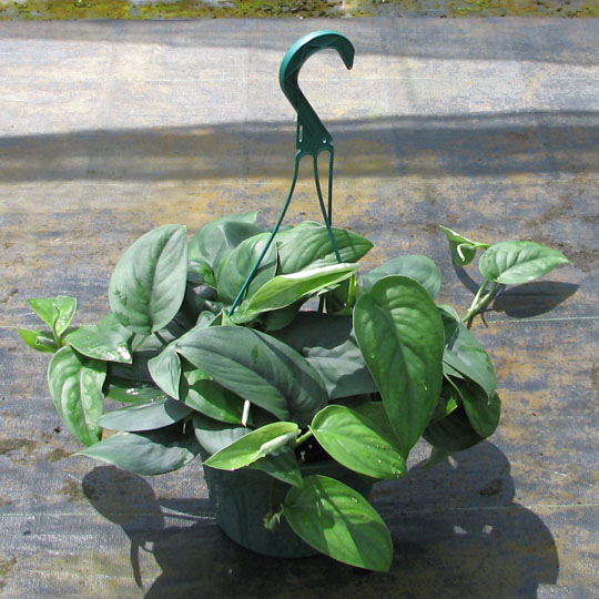 Ficus Ruby Rubber Plant