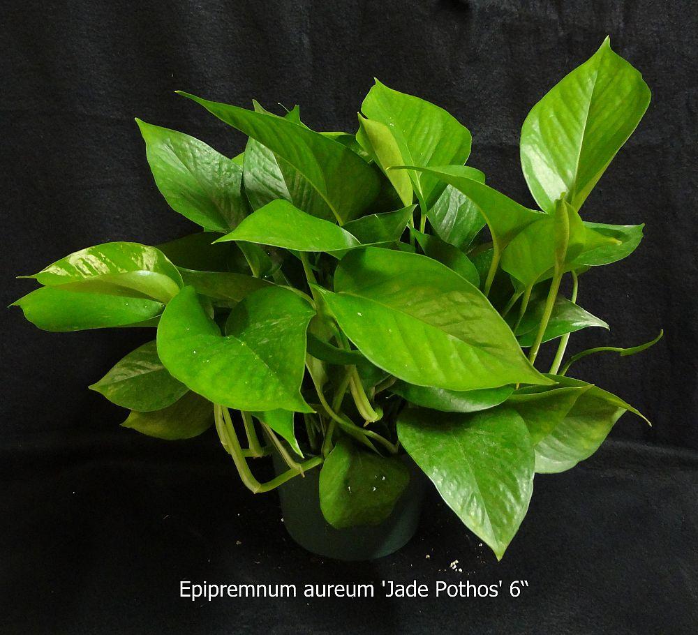 Green Leaf With Dark Bands
