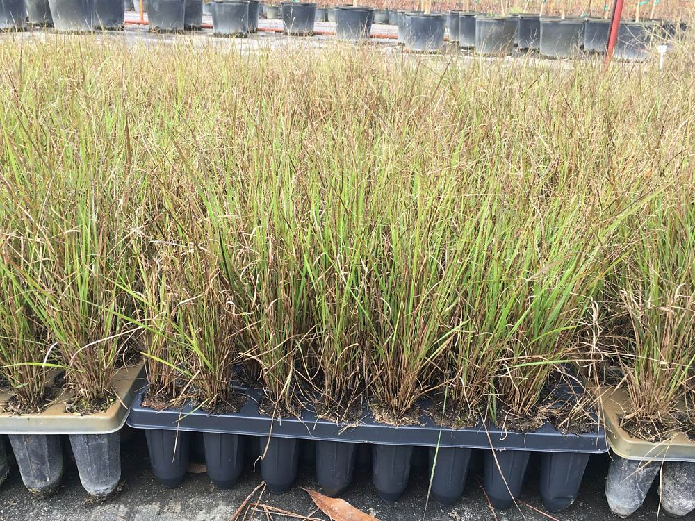 eragrostis-spectabilis-purple-lovegrass