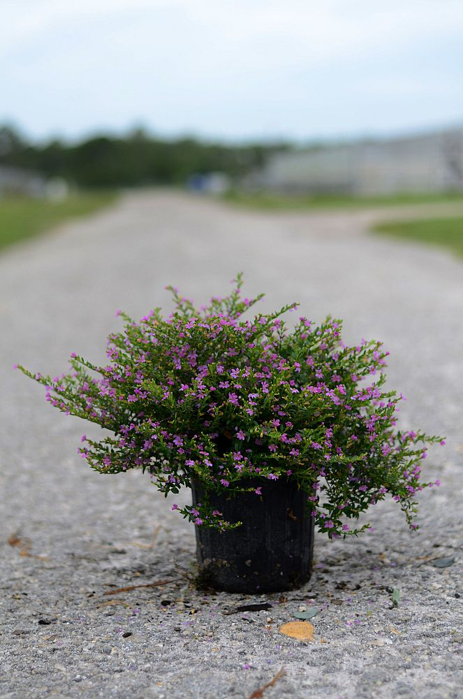 erica-erigena-mediterranean-heather