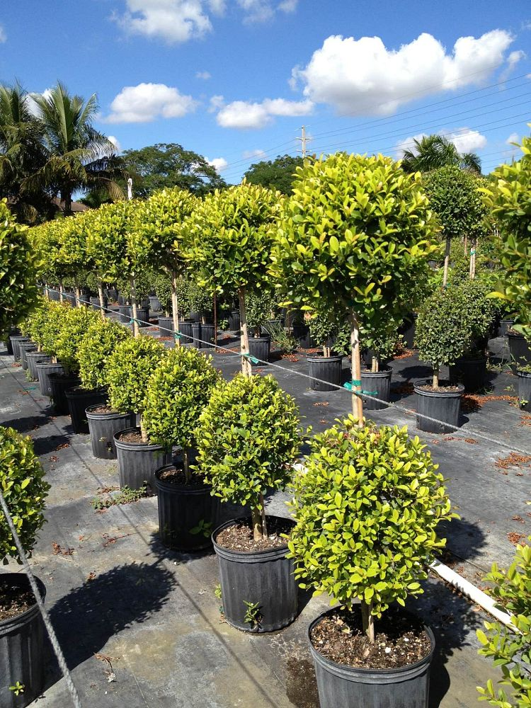 eugenia-myrtifolia-monterey-bay-topiary-2-ball-syzygium-paniculatum-brush-cherry