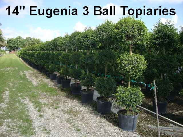 eugenia-myrtifolia-monterey-bay-topiary-3-ball-syzygium-paniculatum-brush-cherry