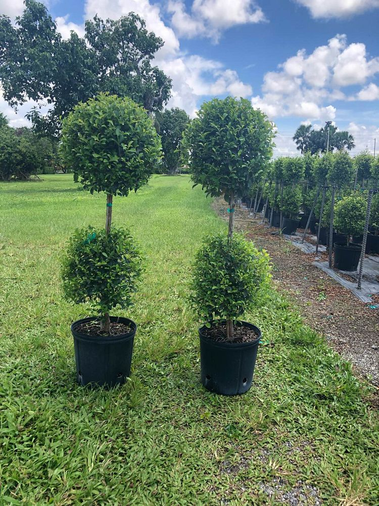 eugenia-myrtifolia-topiary-2-ball-syzygium-paniculatum-brush-cherry