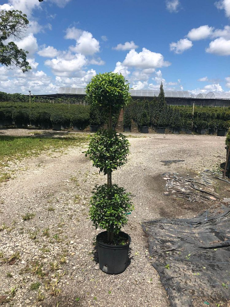 eugenia-myrtifolia-topiary-3-ball-syzygium-paniculatum-brush-cherry