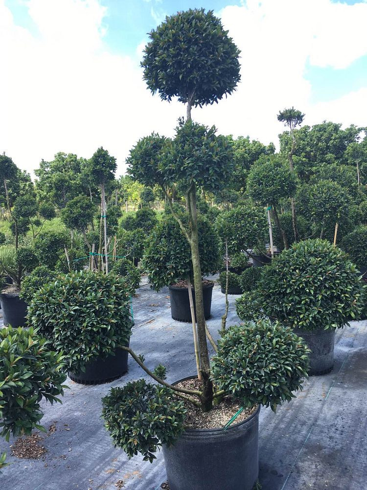 eugenia-myrtifolia-topiary-pompom-multiball-syzygium-paniculatum-brush-cherry