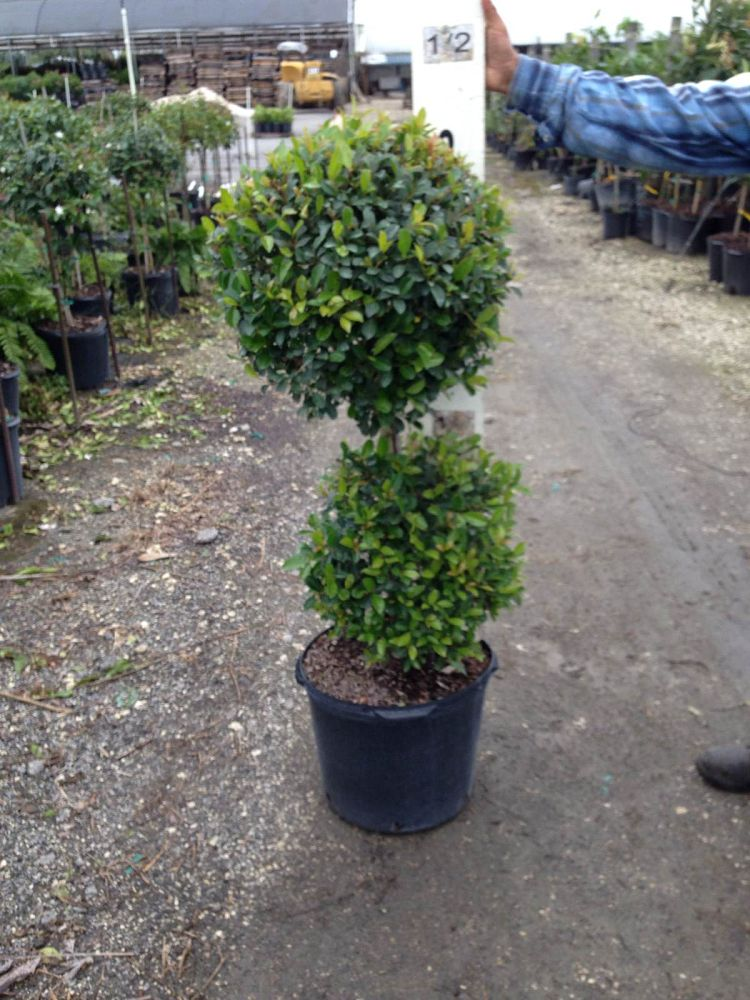 eugenia-sp-topiary