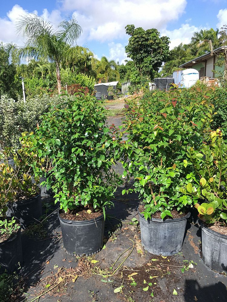 eugenia-uniflora-cherry-hedge-surinam-cherry