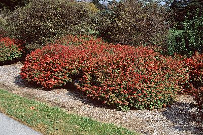 euonymus-alatus-rudy-haag-burning-bush-winged-euonymus