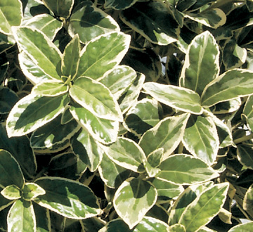 euonymus-japonicus-silver-king-japanese-spindle
