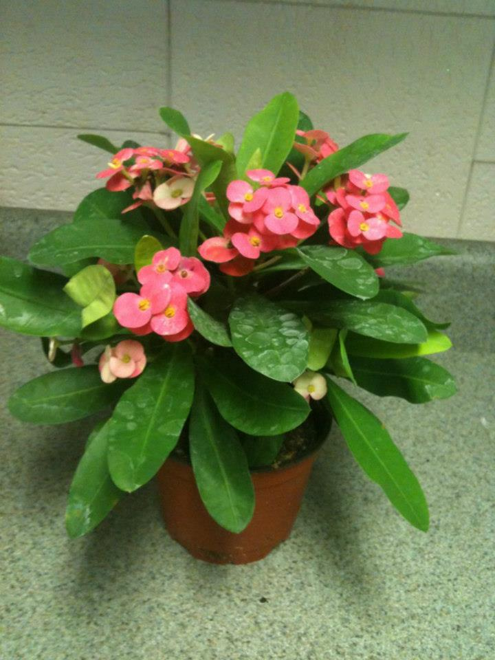 euphorbia-milii-crown-of-thorns