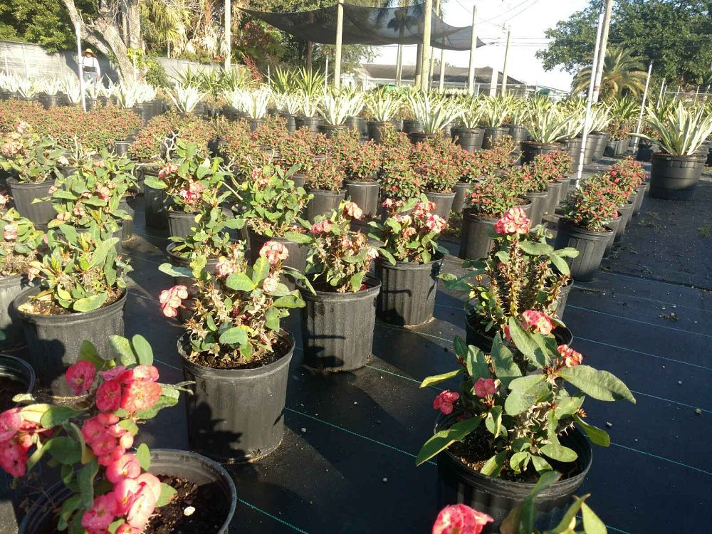 euphorbia-milii-dwarf-hybrids-crown-of-thorns