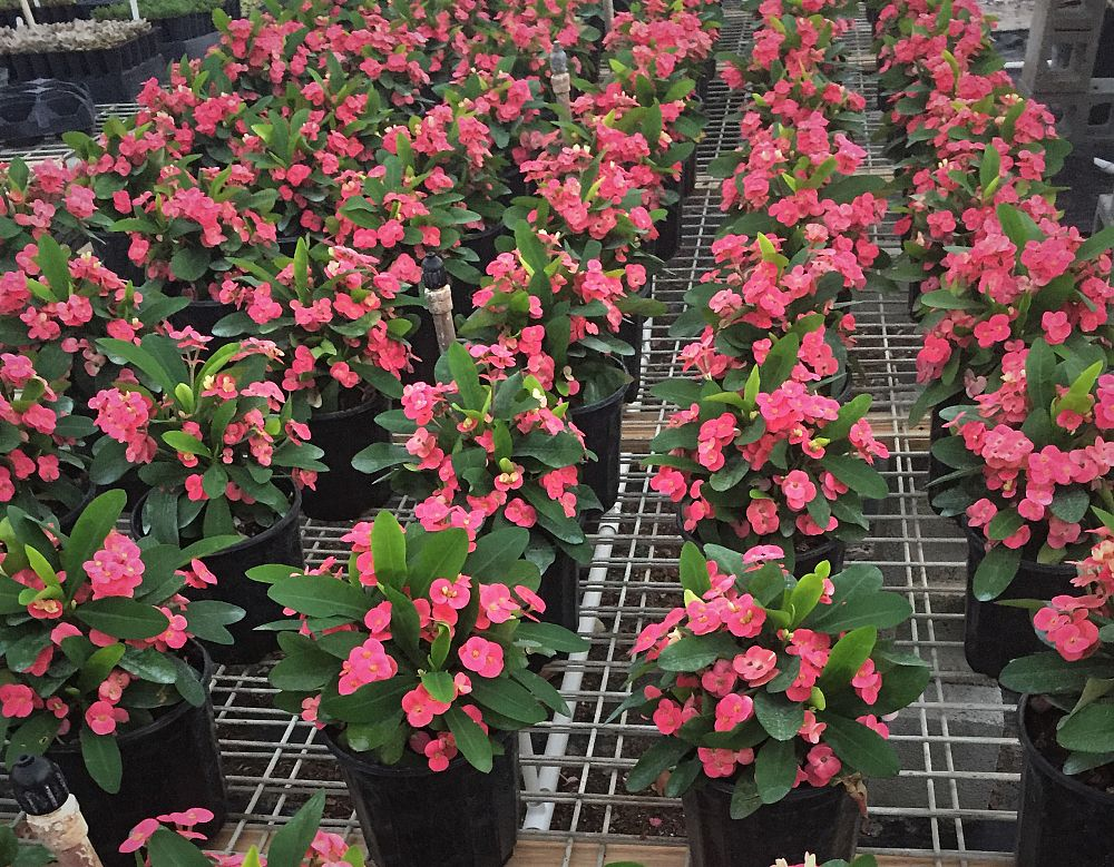 euphorbia-milii-pink-cadillac-crown-of-thorns