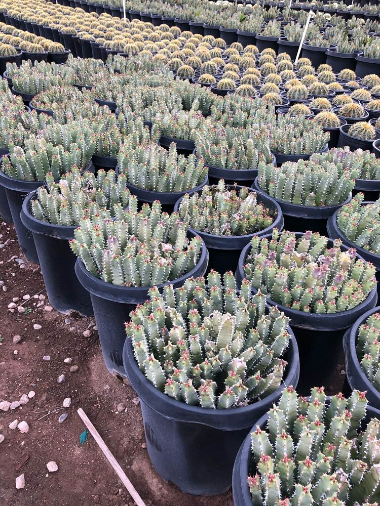 euphorbia-resinifera-official-spurge-resin-spurge-moroccan-mound