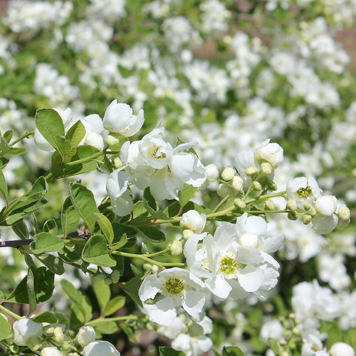 exochorda-blizzard-snow-day-reg-blizzard-pearl-bush