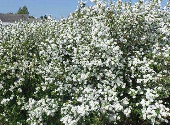 exochorda-snow-mountain-pearlbush