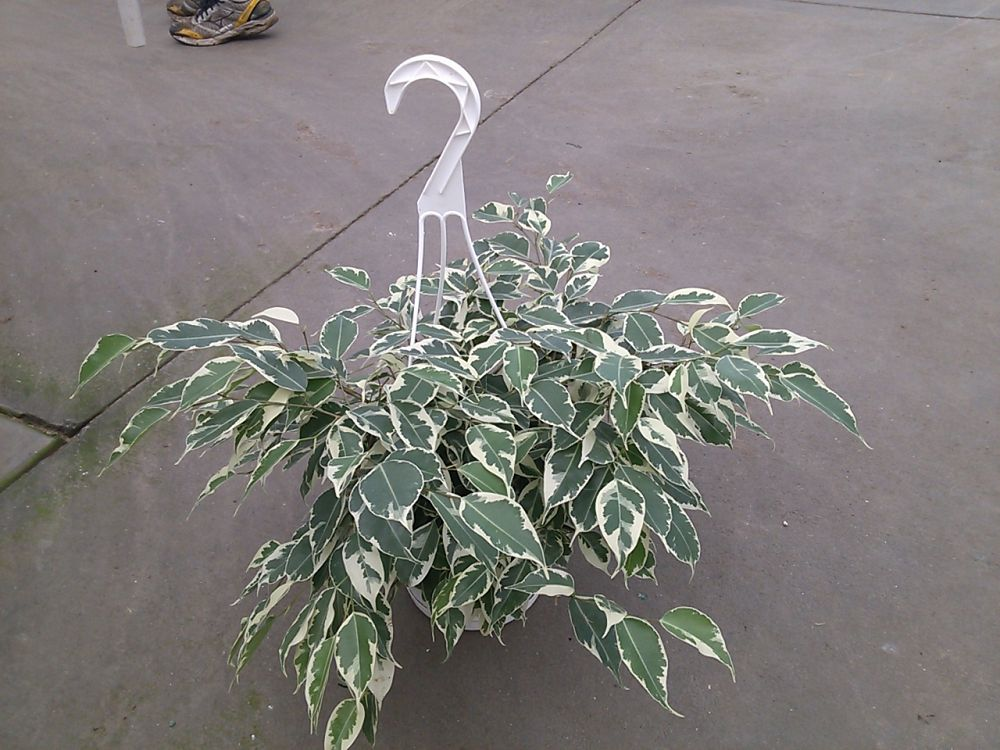 ficus-benjamina-starlight-weeping-fig