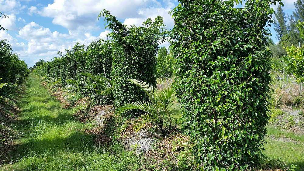 ficus-benjamina-weeping-fig-java-fig-benjamin-fig