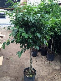 ficus-benjamina-weeping-fig