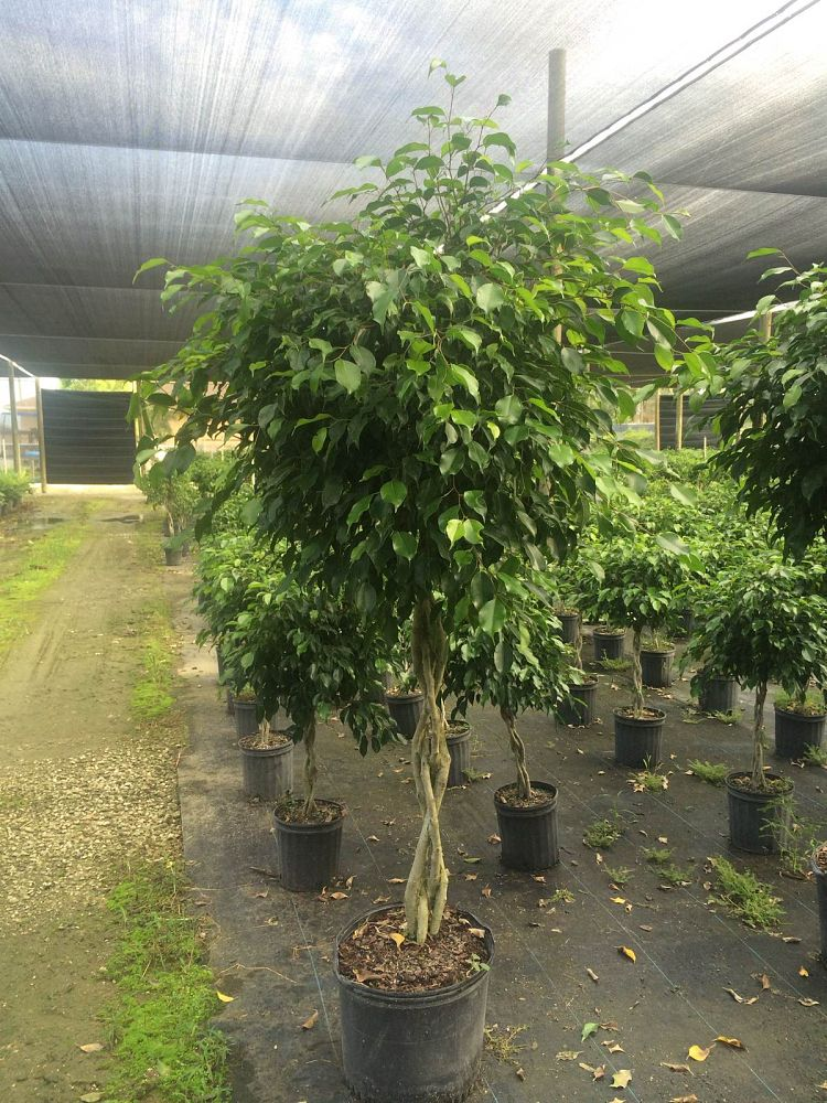 ficus-benjamina-wintergreen-weeping-fig