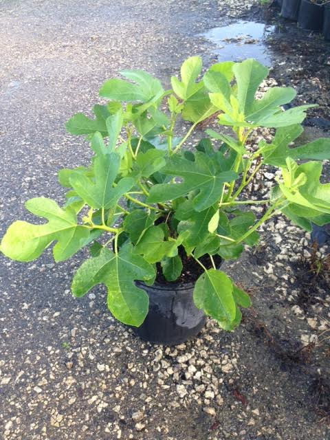 ficus-carica-black-mission-fig-tree-edible