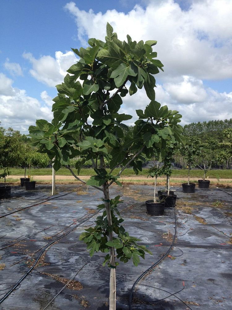 ficus-carica-brown-turkey-fig-tree-edible