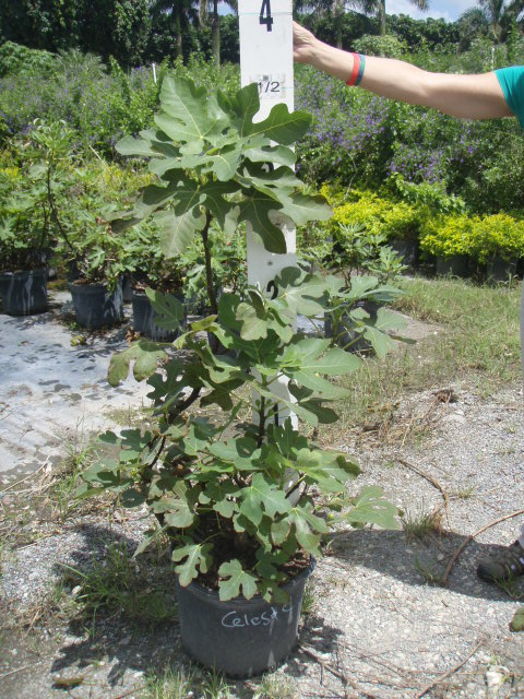 ficus-carica-celeste-fig-tree-edible