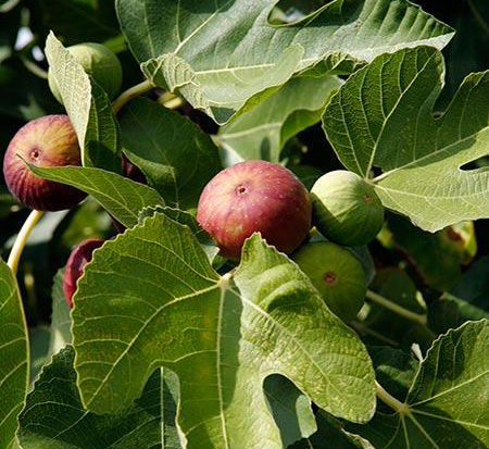 ficus-carica-majoam-fig-tree-edible-little-miss-figgy-dwarf-fig