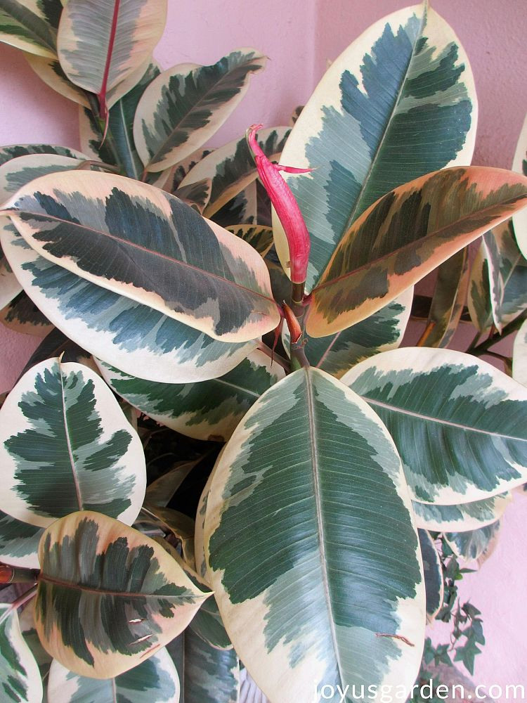 ficus-elastica-tineke-rubber-plant-indian-rubber-tree