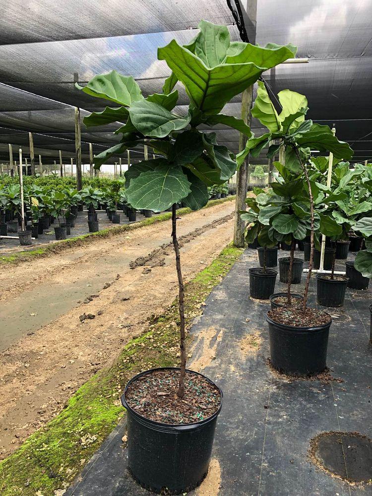 Morris Arboricola Plantant Com