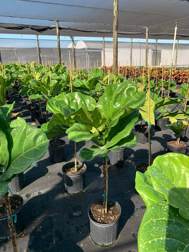 ficus-lyrata-suncoast-fiddle-leaf-fig-ficus-pandurata