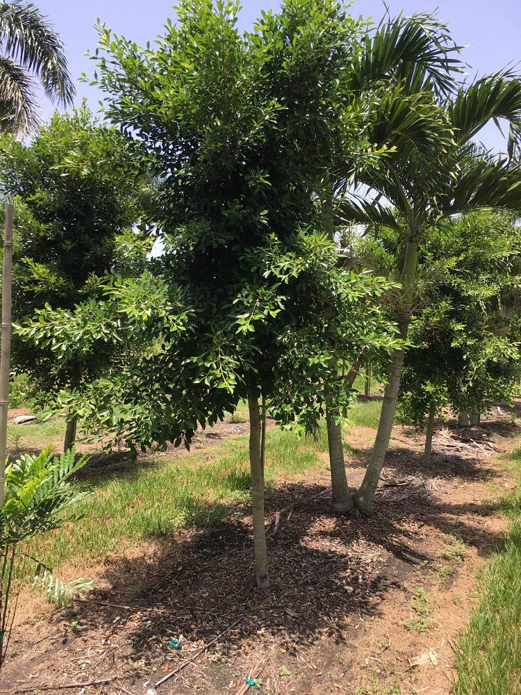 ficus-microcarpa-ficus-nitida-indian-cuban-laurel