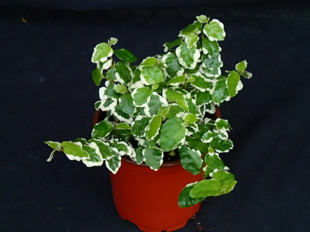ficus-pumila-variegata-ficus-repens-variegated-creeping-fig-ivy