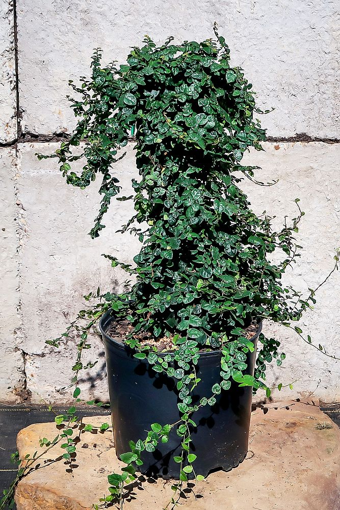 ficus-sandi-leaf-fig-ivy